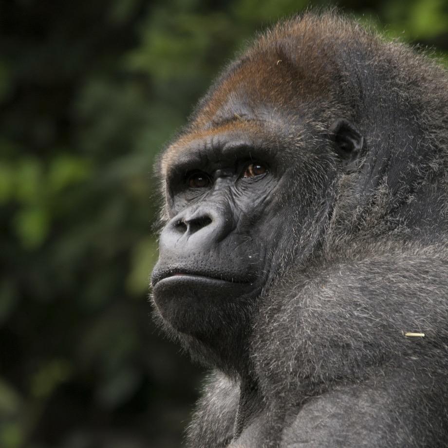 gorilla safari africa