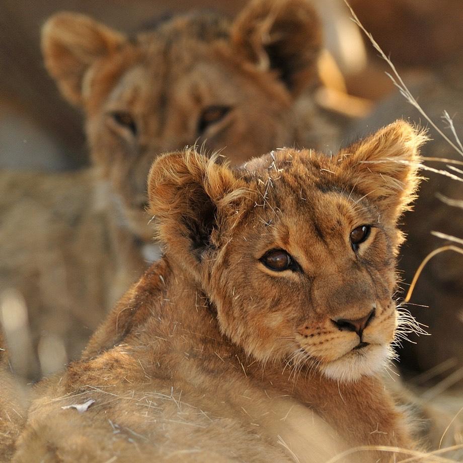 africa zimbawe safari