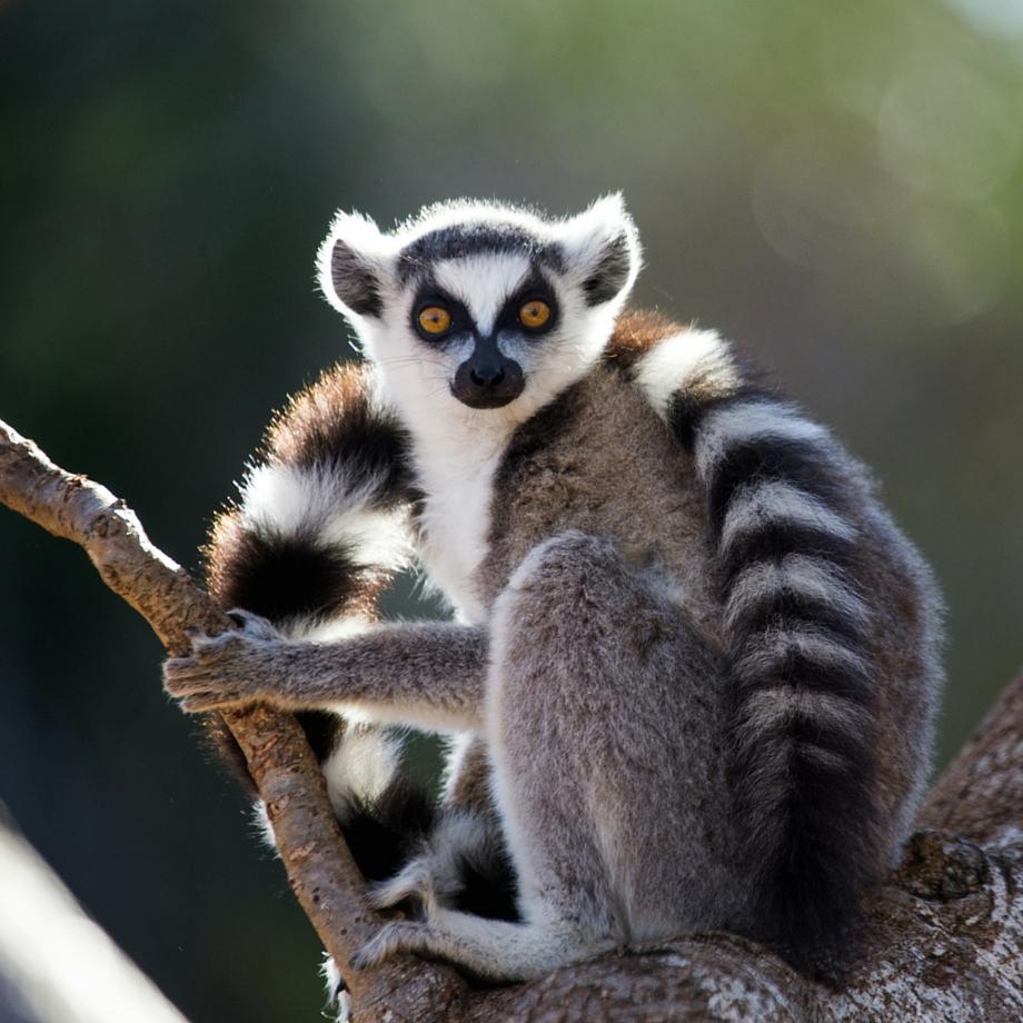 tour individuali madagascar lemure diego suarez